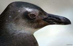 Spheniscus magellanicus - pinguim-de-Magalhães. Vive em grandes colônias com centenas de indivíduos. É um animal monogâmico e o casal se reveza na incubação dos ovos e nos cuidados com os filhotes. Constrói o ninho no chão e a fêmea bota dois ovos que são incubados por 40 dias.