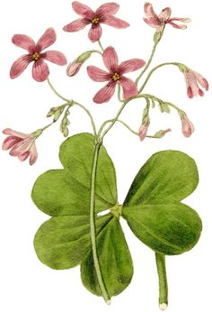 Free printable image/print of a Pink Sorrel. Would be beautiful framed.