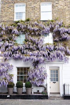 A guide to finding wisteria in London England