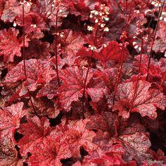 Heuchera 'Cajun Fire'  H&S: 0.25m x 0.35m  Position: full sun or part shade  Flowers: summer