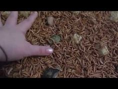 Gutloading - YouTube