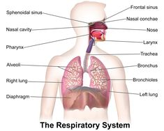 cardiovascular and respiratory systems during exercise