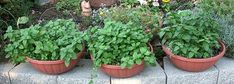 Mint 17 Varieties of Mints Organic Mint Plants Choosing, Using and Growing Mint Growing Mint, Apple Mint, Mint Plants, Mint Flowers, Types Of Herbs, Beneficial Insects, Planting Succulents, Succulent Plants, Hobby Farms
