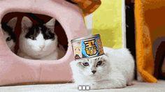 new favorite cat gif