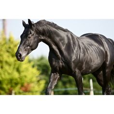 New stallion chosen as the black horse for Lloyds TSB ❤ liked on Polyvore featuring animals, horses and pets