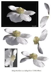 White Anemone 'butterfly' Beeld & Decoupage