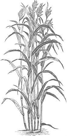 Free printable corn stalks fall coloring page for kids for Corn stalk template