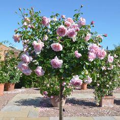 WILDEVE   English Rose - bred by David Austin