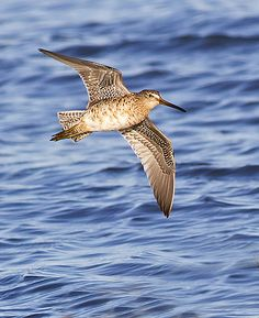 The Short-billed Dowitcher (Limnodromus griseus)