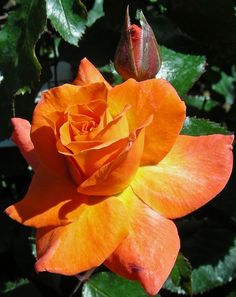 Hybrid Tea Rose Buck's Fizz growing in Butchart Gardens. Exotic Flowers, Pretty Flowers, Purple Flowers, White Flowers, Orange Roses, Red Roses, Bed Of Roses, Buck's Fizz, Gardens