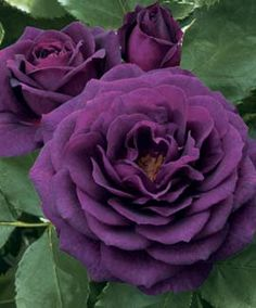 Rose, 'Ebb Tide'...I grow this rose & it is stunning! Blooms in Spring & reblooms again & again throughout Summer. Changes colour depending on the temperature...cooler temps produce a deeper purple & warmer/humid temps create a burgundy/magenta bloom. Has a deep, clove scent.