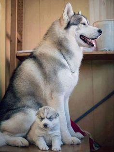 Precious Mom and Husky puppy