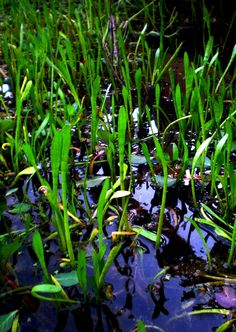 """Underwater Turf 6""""h & 12""""w.  Moist soil to 12 inches of water covering the pot. Oxygenator and marginal.  In my pond."""