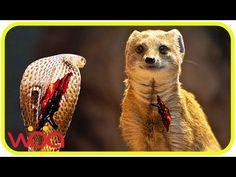 The most dangerous enemy of snakes | Honey badger, Mongoose, Eagle, Secretary bird, king cobra - YouTube