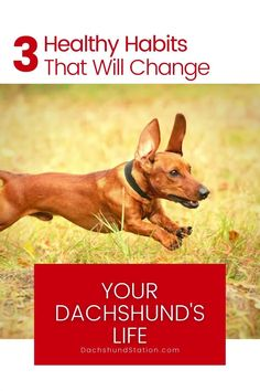 Your Dachshund's Healthy All Depends on YOU - Their Dachshund Parent. Provide quality dog food, follow a feeding schedule, and maintain healthy habits.  #dachshund  #doxie