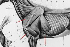 2012_July_30_1_Muscles_deep._cropped.jpg
