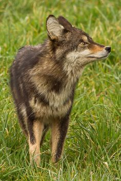 Coyote by Orkakorak on Flickr*