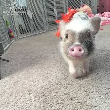 Image result for pig driving a mini