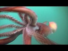 The Humboldt Squid; The Devilfish mentioned in The Island of the Blue Dolphin is a squid. This squid is found in the native area of the actual island