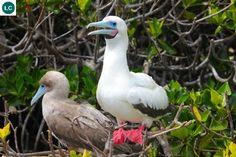 https://www.facebook.com/WonderBirdSpecies/ Red-footed booby (Sula sula); Caribbean, the South-West Atlantic Ocean and the Pacific and Indian Oceans; IUCN Red List of Threatened Species 3.1 : Least Concern (LC)(Loài ít quan tâm) || Chim điên chân đỏ; Các vùng biển nhiệt đới: Caribê, tây-nam Đại Tây Dương, Thái Bình Dương và Ấn Độ Dương; Họ Chim điên-Sulidae (Booby&Gannet).
