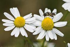 Το Χαμομήλι, ή Χαμοπούλα, (Marticaria Chamemilla) πήρε το όνομα του από το άρωμά του (μήλο του εδάφους) και ο πρώτος που αναφέρει τις ευε... Health Fitness, Herbs, Plants, Herb, Flora, Plant, Spice, Planets, Gymnastics