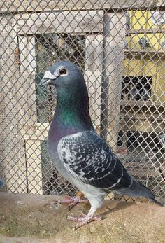 Racing Pigeon Lofts, Homing Pigeons, Dove Pigeon, Mughal Paintings, Khalid, Pet Birds, Animals And Pets, Cactus, Wildlife