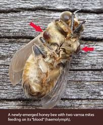 Varroa Mite Infested Bee