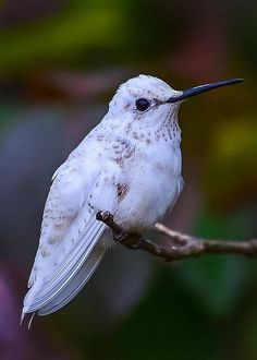 Leucistic White Hummingbird by Richard Marquardt