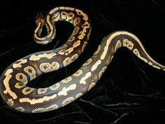 Co-Dominant Ball Python Morphs - A 2 Z Reptiles - Look at some snakes! Ball Python Morphs, Black Laces, Back To Black, Reptiles, Snakes, Animals, A Snake, Snake