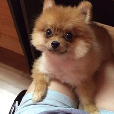 pomeranian watching
