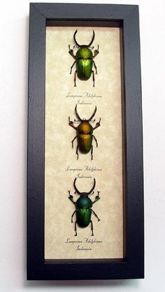 3 Metallic Stag Beetle Collection Real Framed Insects 7972. $89.99, via Etsy.