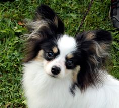 The Papillon is really a quite intelligent and self-assured dog which has a really simple time learning new tricks.The Papillon is really a moderate shedder. For that reason, they have to be brushed a number of occasions a week.