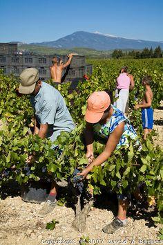 Grape harvest, Vaucluse, Provence, France