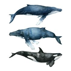 The Three Whales are part of the Whale Collection. It's a collection of The best of the best, the crème de la crème. Two humpbacks and one killer whale. It's an illustration of tranquility ...