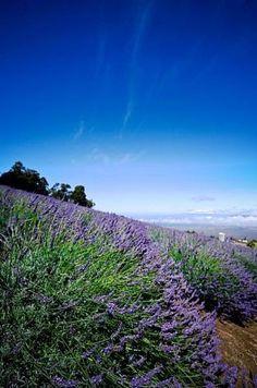 The 13.5-acre Ali'i Kula Lavender farm lies 4,000 feet above the south coast of Maui on the slopes of Haleakala. Photo: Courtesy Ali'i Kula Lavender / SF