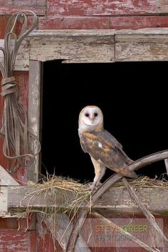 Owl in an old barn.