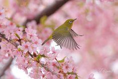 In flight, Japanese white eye bird Pretty Birds, Beautiful Birds, Animals Beautiful, Bird Wings Costume, Black Bird Tattoo, Tattoo Bird, Hanging Bird Cage, Bird Nest Craft, Beautiful Places In Japan