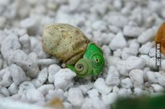 Baby Chameleon opening its eyes for the first time