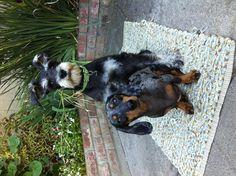 pups =)  #Dogs #Schnauzer