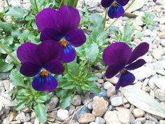 Violette. 25 marzo 2012