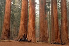 Congress Trail-  My favorite hike we did in Sequoia National Park.  Takes 3 hours, some hills, you'll be exhausted, but worth it to get away from the crowds and fenced-in Sequoias.  You can walk right up to any one of these giants.  Had this place almost all to ourselves (in October).