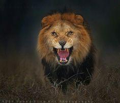 León atacando