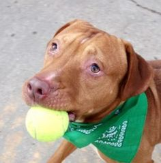 TO BE DESTROYED 01/27/17 A volunteer writes: I was told that Albus was a shy young man. But show him a tennis ball and you will see the school boy coming to life. Albus loves to play, although he is quite clumsy. He gets so excited going and jumping after the ball that he runs into gates and walls. He brings it back, though, no guarding involved! Albus simply drops the tennis ball at my feet so we can continue the game. It takes so little to make a dog happy. It can be a toy or sometimes, a…