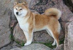 AKC Shiba Inu page. This was one of the many breeds that caught our eye when we were looking for a dog. Brandon lived in Japan for a while, which was how it came on our radar :) maybe one day!