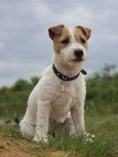 Ernie and Berti (@Berti_and_Ernie) | Twitter Here is Jack - Jack Russell Terrier