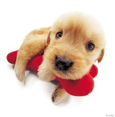 Artlist Collection THE DOG (Golden Retriever) — Please share if you think this puppy is adorable...