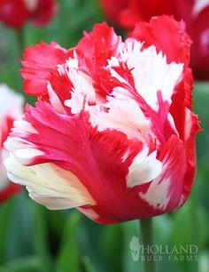 Destiny (Estella Rijnveld) Parrot Tulip LATE SPRING Full to Partial Sun