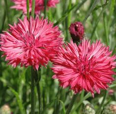 Cornflower Centaurea Cyanus Red Boy