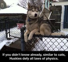 """""""If you didn't know already, similar to cats, Huskies defy all laws of physics."""" ~ Dog Shaming shame"""