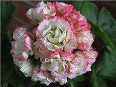 'AppleBlossom' Rosen-pelargon